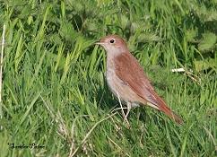 nightingale grass