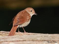 nightingale song