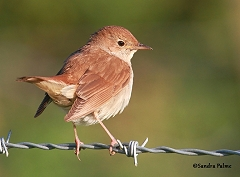 nightingale Luscinia megarhynchos