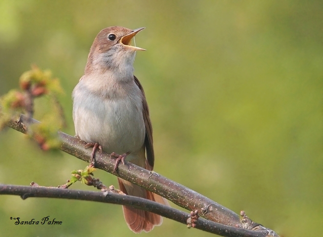 male nightingale in full song