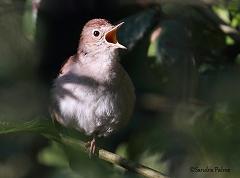 male nightingale
