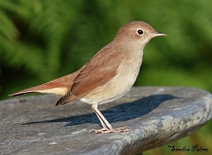 nightingale fresh plumage