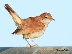 nightingale photo