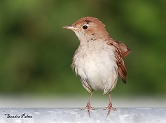 beautiful nightingale