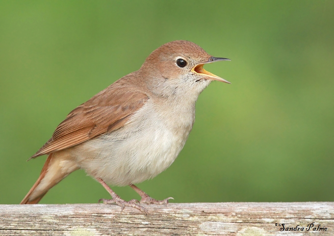 singing nightingales bird photos by sandra palme