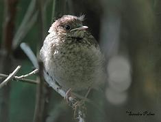 fluffy baby nightingale