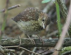baby nightingale photo