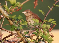 juvenile nightingale July