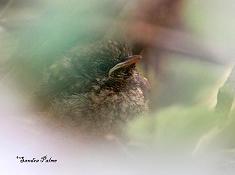 fledgling nightingale