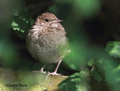 nightingale fledgling