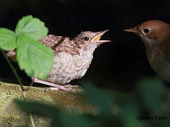 nightingale fledgling and adult