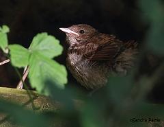 baby nightingale