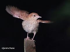 nightingale fledgling wings
