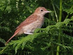 juvenile nightingale