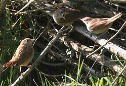 nightingale feeding fledglings