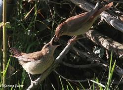 nightingale feeding fledgling