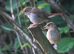 nightingale feeding young