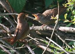 nightingale feeding young bird