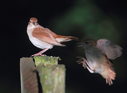 nightingales – adult and young bird