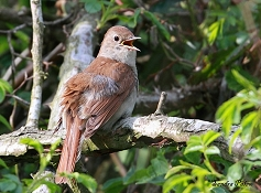 nightingale Pulborough