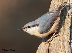 European nuthatch bird