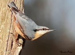 European nuthatch bird photo
