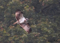 female osprey in flight at Warnham LNR