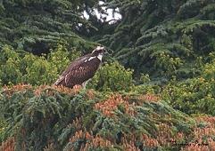 osprey Warnham