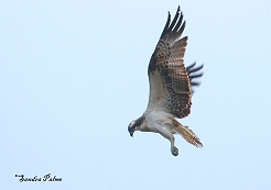 osprey in flight photo
