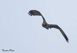 osprey flying in the rain