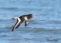 oystercatcher in flight photo