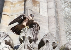 juvenile peregrine Chichester Cathedral