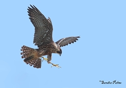 juvenile peregrine falcon photo