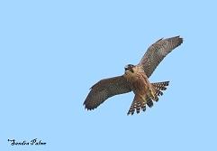 juvenile peregrine falcon 2012
