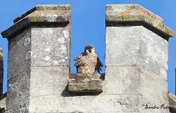 juvenile peregrine falcon Chichester Cathedral 2012