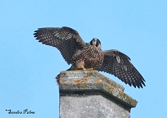 young peregrine falcon Chichester Cathedral