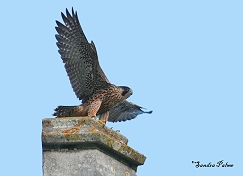 young peregrine Chichester Cathedral