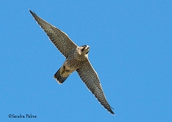 juvenile peregrine in flight Chichester Cathedral
