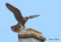 juvenile peregrine falcon bird photo