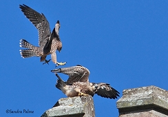 juvenile peregrines playing Chichester Cathedral