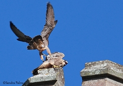 juvenile peregrines playing Chichester Cathedral 2012