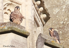 peregrine siblings Chichester Cathedral