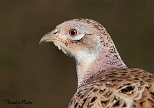 Female Pheasant photo