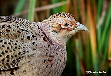 Female Pheasant picture
