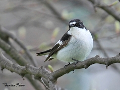 pied flycatcher bird Brighton