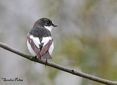 pied flycatcher bird