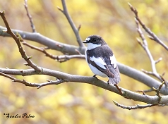 pied flycatcher photo