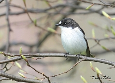 pied flycatcher Sussex