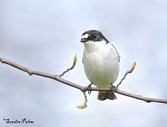 male pied flycatcher photo