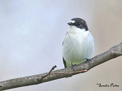 pied flycatcher West Sussex